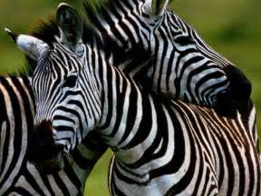 what color is a zebra black and white zebra colors photo 34704960 fanpop