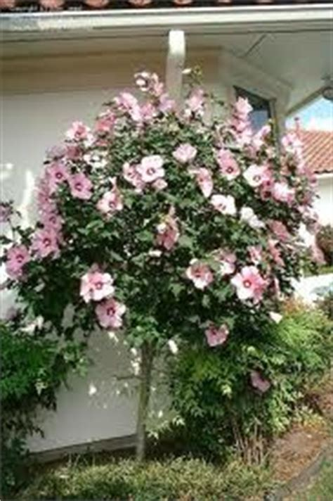 Vase Shaped Shrubs by Of Zone 5 9 Is An Open Vase Shaped Shrub