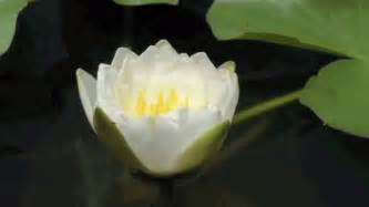 Lotus Flower Gif Soon Rest In Peace Chris From This