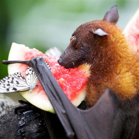fruit bat exceptionally enthralling facts about the fruit bat