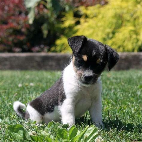 terrier mix puppies fox terrier mix puppy www pixshark images galleries with a bite