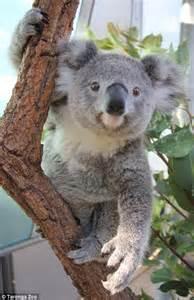 female koala pouch 3 koalas pictured enjoying some down time at sydney s