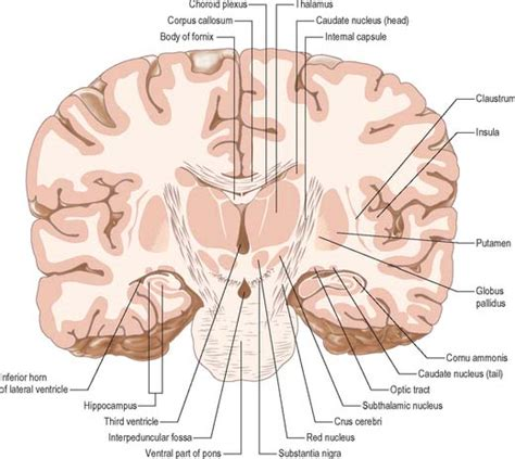 coronal section of body diencephalon basicmedical key