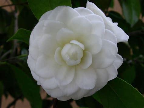 fiori da giardino fiori da giardino giardinaggio fiori per il giardino