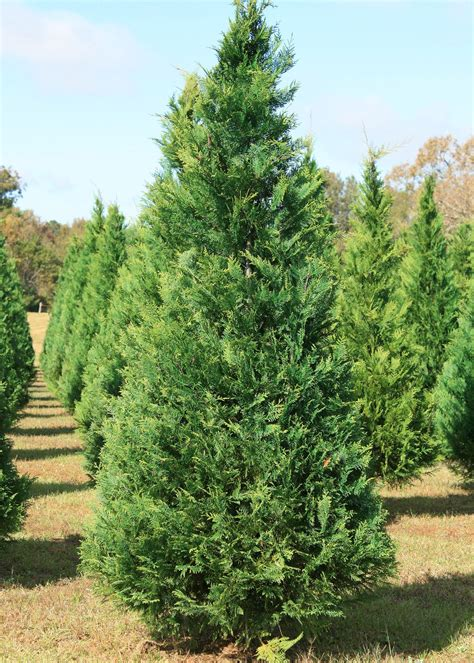 mississippi christmas tree farm decorate for with mississippi trees mississippi state extension service