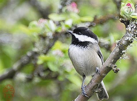 oregon backyard birds etc chickadees black capped and