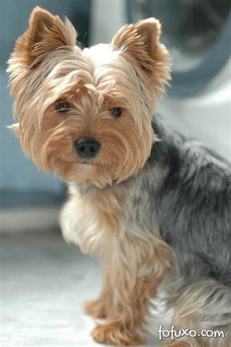 five yorkies terrier ra 231 as de cachorros