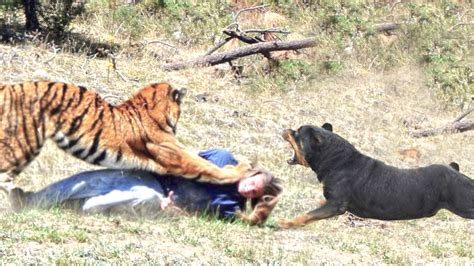 rottweiler vs tiger the gallery for gt pitbull vs wolf