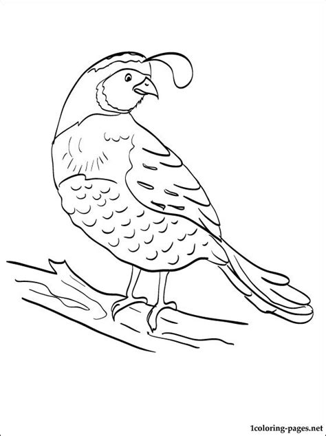 quail coloring page for kids coloring pages