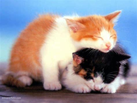 wallpaper chat mignon chatons trop mignon qui parle