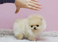 teacup pomeranian for sale illinois teacup pomeranian husky search pomeranian teacup