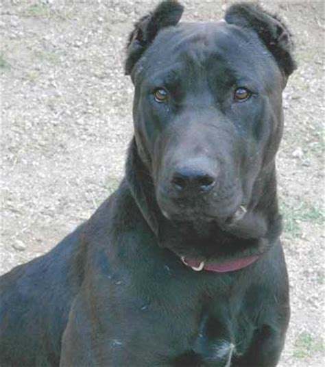 canis panther puppies canis panther info temperament puppies pictures