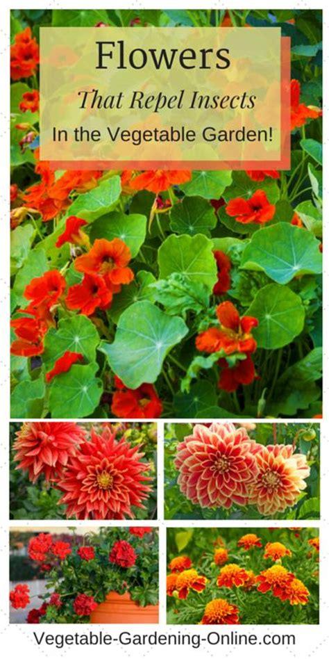 plants that repel insects in vegetable gardens petunias nasturtiums chrysanthemums geraniums