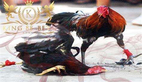 agen judi laga ayam terbaik solusi sukses  bermain sabung ayam
