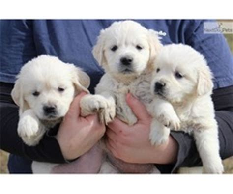 golden retriever puppies for sale 500 dollars dexterous maltese puppies for sale animals casselberry florida announcement 29830