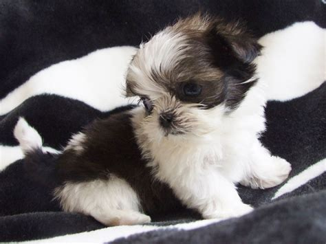 miniature imperial shih tzu pin tiny imperial shih tzu on