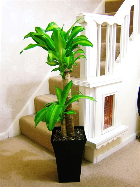 large indoor tree  milano gloss pot office house