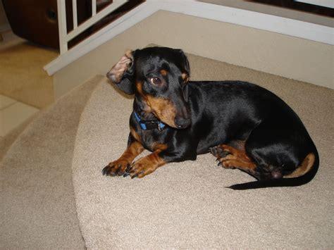 dachshund puppies tucson home based dachshund breeder tucson alaska