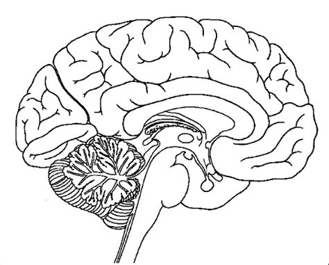anatomy coloring pages brain brain coloring page school coloring pages