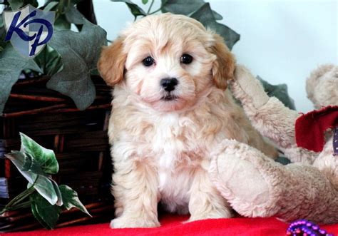havanese puppies for sale in pa 17 best images about havanese puppies on best dogs toys and search