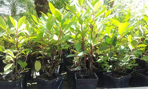 piante da frutta in vaso piante di laurocerasio in vaso
