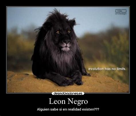 imagenes leon negro leon negro desmotivaciones