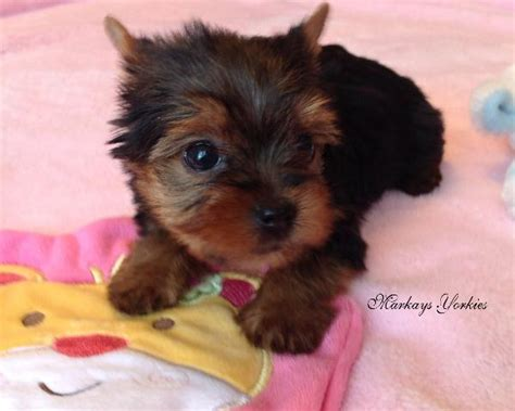 yorkie puppies mn yorkie wisconsin minnesota breeder teacup yorkie puppies for sale terrier