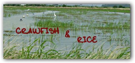 cajun traditions crawfish rice cajun culture and traditions