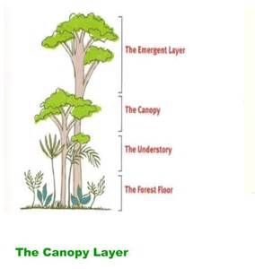 Canopy Layer Rainforest by Gallery For Gt Canopy Layer Animals