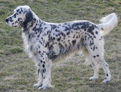 dog breeds english setter english setters what s good about em what s bad about em