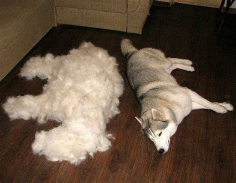 Shedding Dogs by To Shed Or Not To Shed That Is The Top