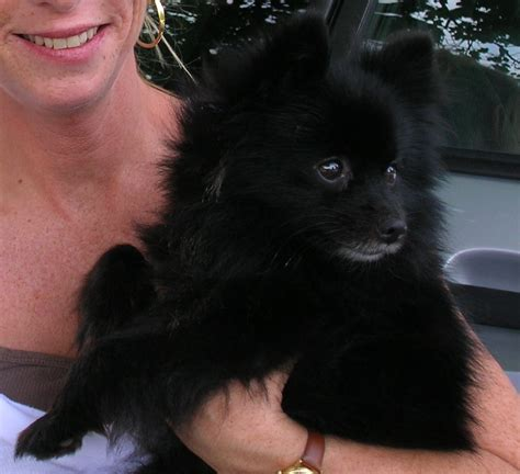 pomeranian black puppies pomeranian black puppy
