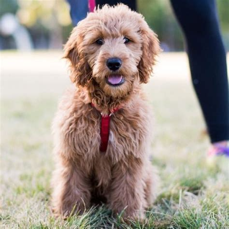 mini goldendoodles for sale in nj 1000 id 233 es 224 propos de miniature labradoodle sur