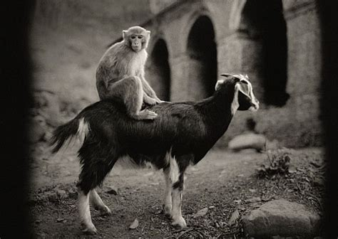 new year monkey and goat goat and monkey unlikely friends