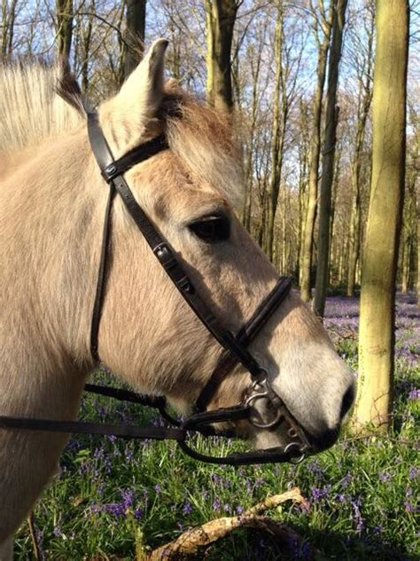 fjord horse facts fjord horse facts and information viovet
