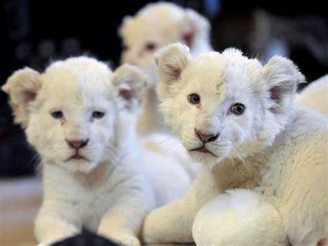 imagenes de leones raros los felinos m 225 s hermosos y raros de la naturaleza