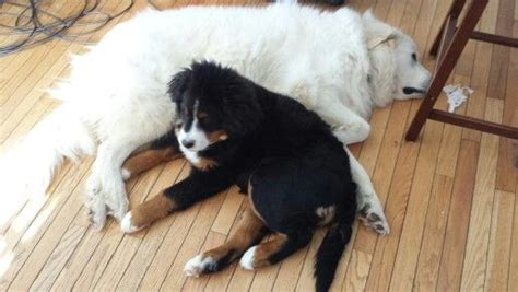 great bernese mountain bernese mountain puppy great pyrenees bernese mountain dogs