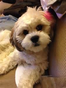 zuchon hair cuts zuchon pictures and photos shichon pictures and photos 2