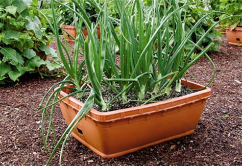 Ideas for Growing Vegetables in Small Spaces And Yards