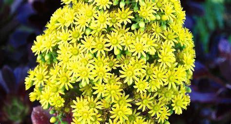 foto piante grasse fiorite piante grasse con fiori piante grasse piante grasse