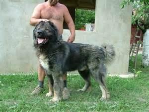 Excitement n net gigantic dogs caucasian shepherd dog