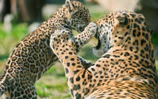 Jaguar Cheetah Jaguar Cub Fighting Wallpapers Hd Wallpapers
