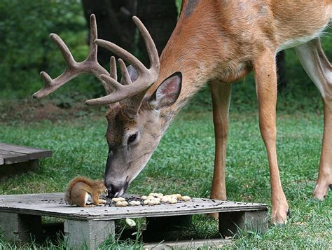 buck w strange experiences 10 point buck w chipmunk pal