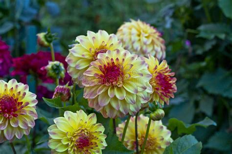 time out the boston flower anemone flowered dahlia flower stock image image of
