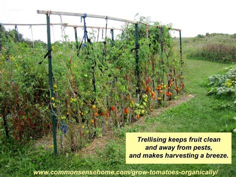 5 terrific tomato trellis ideas for easier picking and cleaner tomatoes