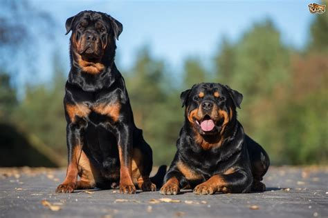 best dog breeds for families pets4homes top 10 good family dogs pets4homes