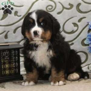 bernese mountain puppies pa bernese mountain puppies for sale in pa
