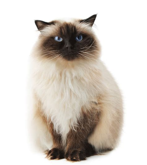 cat breeders himalayan breeders australia himalayan info kittens
