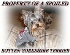 spoiled rotten yorkies three spoiled rotten yorkie lives here on 222 pins