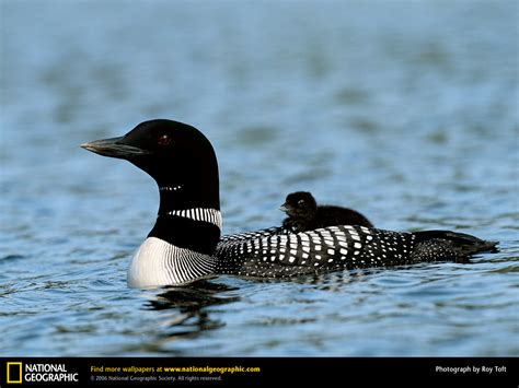 loon picture loon desktop wallpaper free wallpapers